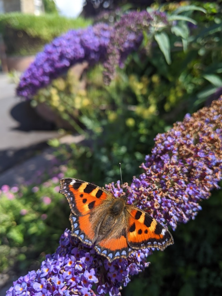 Aglais urticae (small tortoiseshell butterfly) feeding on a lilac branch.